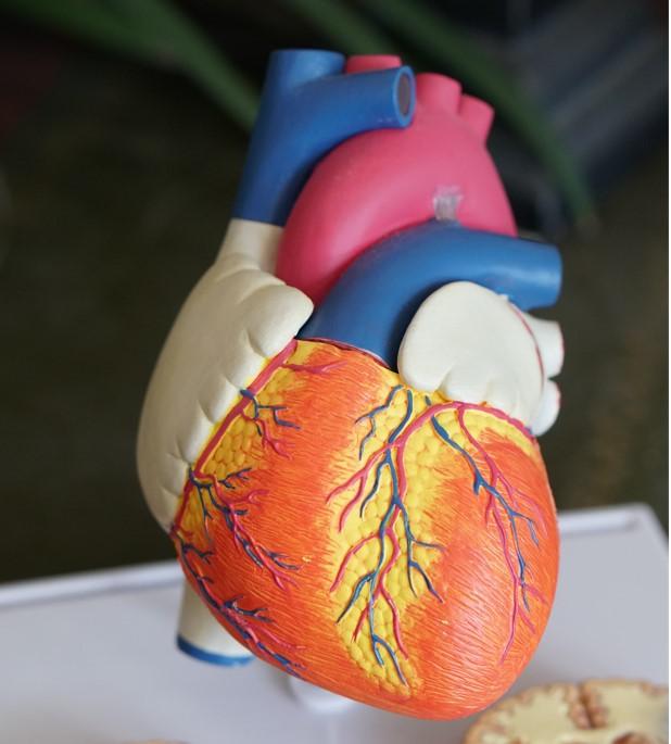 Balkamra-hipertrófia – Megnöveli az infarktus és a szívelégtelenség kockázatát